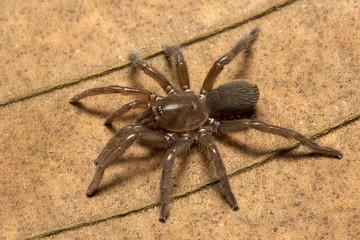 Spider, Theraphosidae, Trishna, Tripura , India