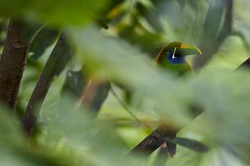 Wild tropical bird, Emerald toucanet, Aulacorhynchus prasinus, green bird with enormous beak, hidden among leaves in its natural environment of costa rican rainforest. Costa Rica wildlife photography.