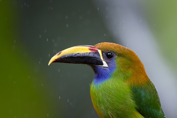 Portrait of Emerald toucanet, Aulacorhynchus prasinus, bird with enormous beak and colorful plumage covered by raindrops,  in its natural environment of costa rican rainforest. Costa Rica wildlife.