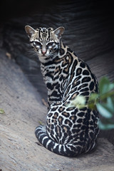 Vertical photo of Margay, Leopardus wiedii, nocturnal, small wild cat native to Central and South America staring directly at camera. Wild cat with fur marked with rosettes. Costa Rica.