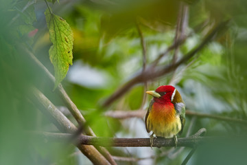 Colorful tropical bird, Red-headed barbet, Eubucco bourcierii, male with red head and green plumage, perched on twig in its natural environment of humid cloud forest. Costa Rican wildlife photo.