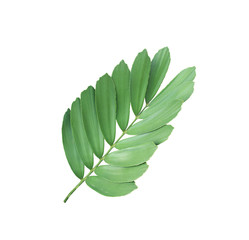clump palm leaf ornamental plant isolated on white background