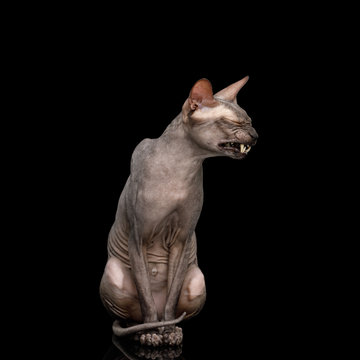 Sphynx Cat Sitting and Smiling Isolated on Black Background, front view