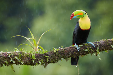 Famous tropical bird with enormous beak,Keel-billed toucan, Ramphastos sulfuratus, perched on a mossy branch in rain against rainforest background.Costa Rican black-yellow toucan,wildlife photography.