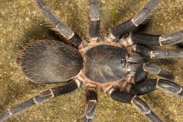 Tarantula, Chilobrachys sp, Theraphosidae, Gumti, Tripura