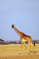Giraffe (Giraffa camelopardalis), Serengeti National Park, UNESCO World Heritage Site, Tanzania, East Africa, Africa
