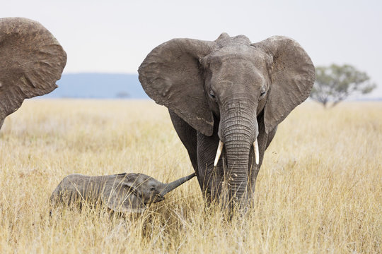 Baby African elephant and mother (Loxodonta africana), Serengeti National Park, Tanzania