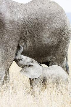 Baby African elephant and mother (Loxodonta africana), Serengeti National Park, Tanzania