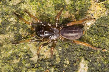 Tarantula, Nemisidae, Near Gurjee, Tripura