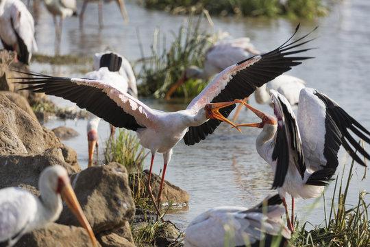 Yellow billed stork (Mycteria ibis) fighting, Lake Manyara National Park, Tanzania