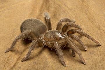Tarantula, Theraphosidae, Gurjee, Tripura , India