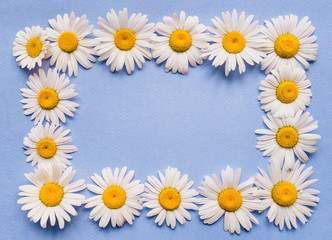 Natural herbal frame. Chamomile flowers on blue paper background. Copy space, top view.