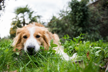 Portrait of domestic dog, lying in grass, close-up