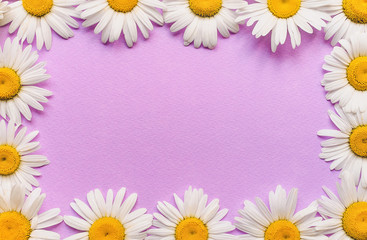 Natural herbal frame. White chamomile flowers on pink, purple paper background. Copy space, top view, violet.