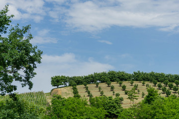 Field of hazelnuts in Roero, Piedmont - Italy