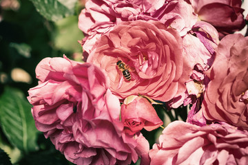 Beautiful pink rose flowers with a bee, natural summer background, vintage image