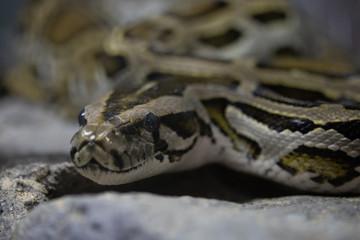 close - up of a python snake.