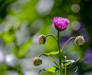 Closeup of Pink Thistles in Sunlight