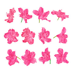 Pink  flowers rhododendrons  mountain shrub on a white background  vintage vector illustration editable hand draw