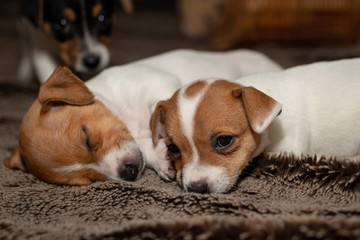 Two Jack Russell puppy sleeping on brown blankets.