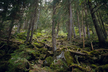 Beautiful magic green fairy forest with high trees and moss. Spring in Carpathian mountains, Ukraine