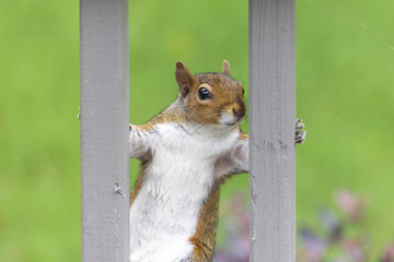 Brown Squirrel framed between slats on a deck