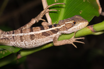 Forest lizard in the night.