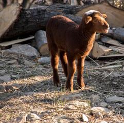 Coucher de soleil sur petit agneau