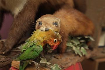 belette empaillée tenant un oiseau dans sa gueule