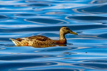 Mallard Duck Swimming in Waves