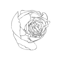 Vector illustration, isolated rose flower bud  in black and white colors, outline hand painted drawing