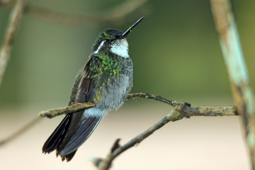 White-throated Mountain-gem (Lampornis castaneoventris) on a Branch. Boquete, Panama