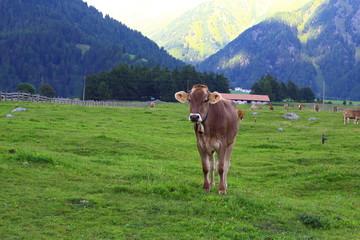mucca al pascolo con montagne sullo sfondo