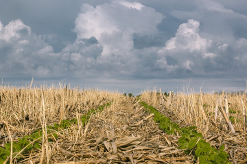 2 rows of soybeans in a no-till field of corn and rye residue with ominous storm clouds in the background. Wall mural