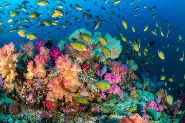 Spoed Fotobehang Koraalriffen Colorful tropical fish swim around a healthy, thriving coral reef