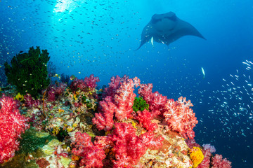 Wall Mural - Oceanic Manta Ray swimming over a colorful, healthy tropical coral reef