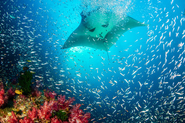 Wall Mural - Huge Oceanic Manta Ray swimming over a colorful, healthy tropical coral reef