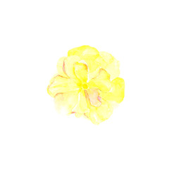 Botanical watercolor illustration sketch of yellow rose on white background. Could be used as decoration for web design, cosmetics design, package, textile