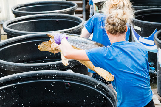 Turtle rescue team carry the sea turtle to medical treatment at Sea Turtle Rescue Centre