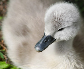 Close up of a baby Mute Swan only one week old
