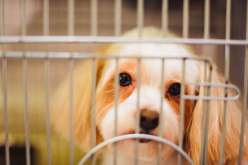 sad Cocker Spaniel behind bars in a dog shelter in search of the owner