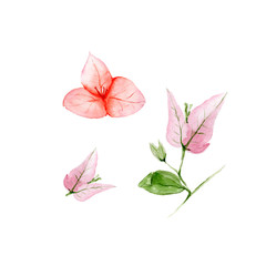 Botanical watercolor illustration of Bougainvillea flowers on white background. Could be used as decoration for web design, cosmetics design, package, textile