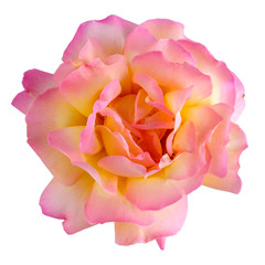 White-pink rose isolated on white. Top view.