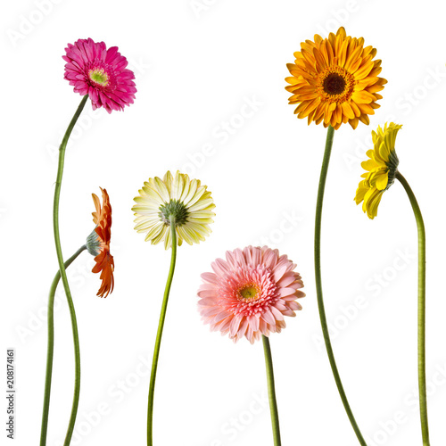 Flores Gerberas Stock Photo And Royalty Free Images On Fotolia Com