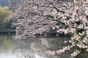 鶴岡八幡宮のさくら(神奈川県・鎌倉市)