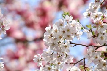 建長寺の桜(神奈川県・鎌倉市)