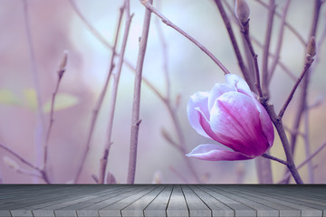 Magnolia flowers with wooden board in spring floral background with violet tone.
