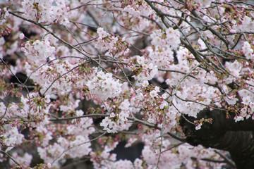 長谷寺の桜(神奈川県・鎌倉市)
