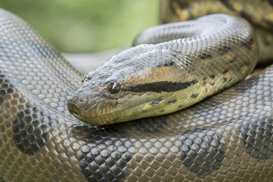 Green Anaconda Snake