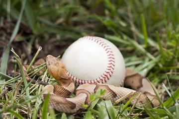 Venomous Copperhead Snake (Agkistrodon contortrix) wrapped around baseball